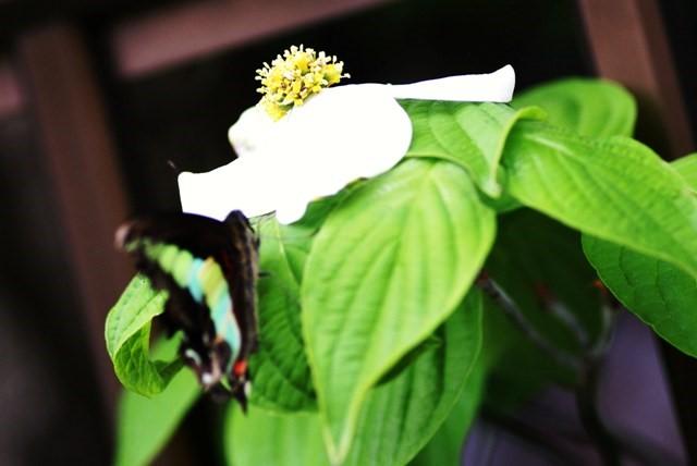 山法師日ごとに白さ増して咲く