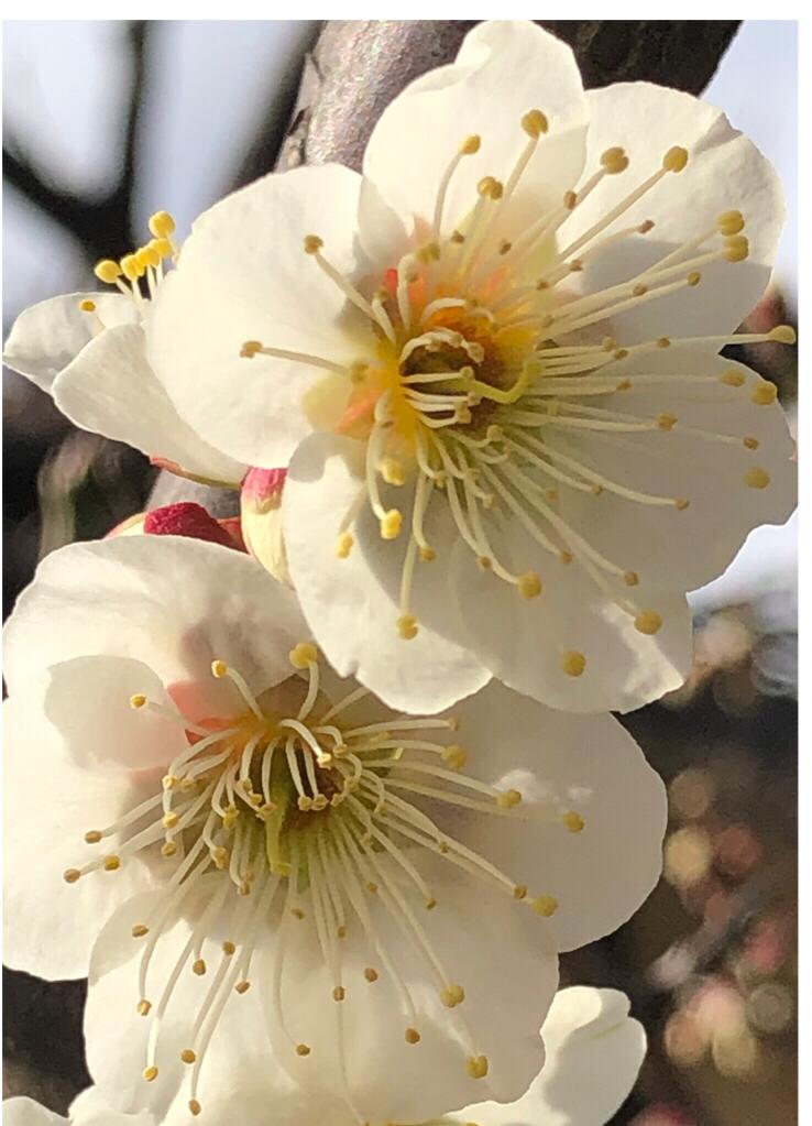 梅の花 白き一輪 空仰ぐ
